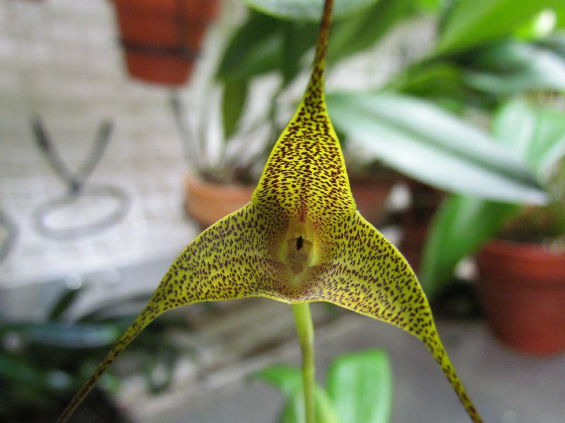 Masdevallia triangularis sp1 et sp2 Img_1618