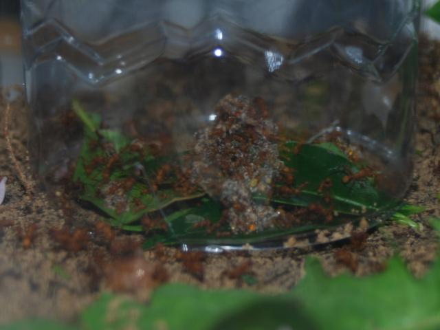 Acromyrmex octospinosus 31_aoz13