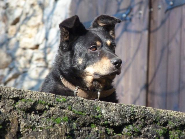 Margo petite chienne croisée -- replacée -- P1060610