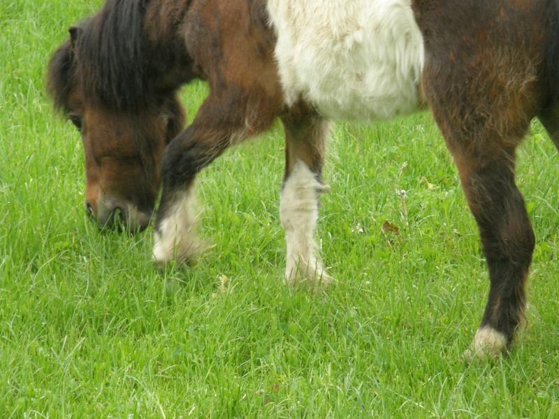 POLLY - ONC Poney Shetland née en 2004 - adoptée en mars 2013 par Moutarde - Page 2 Polly_14