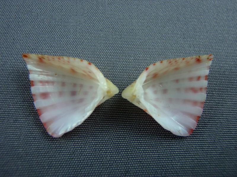 Lunulicardia retusa - (Linnaeus, 1767)  Biv_0010