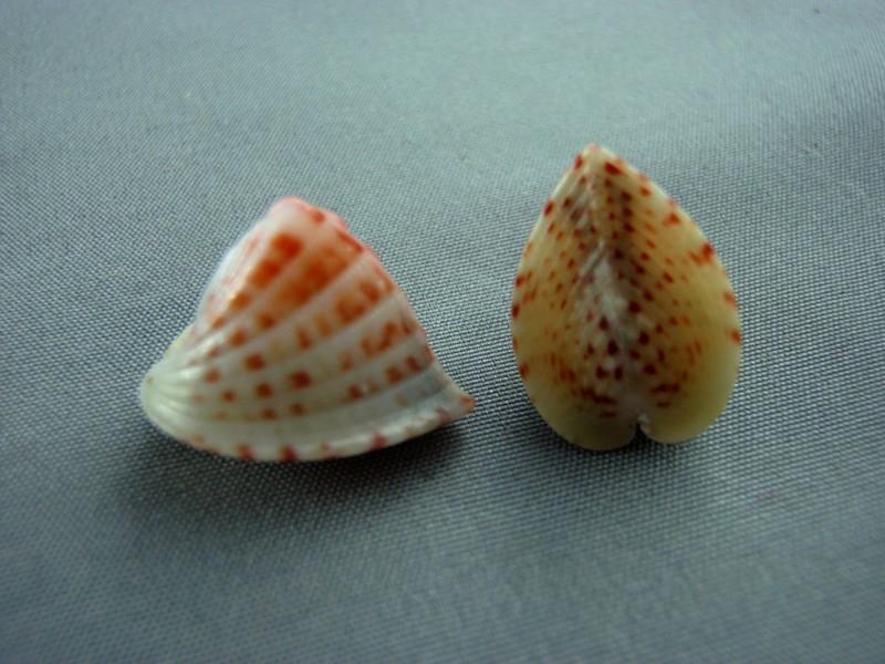 Lunulicardia retusa - (Linnaeus, 1767)  Bivalv22