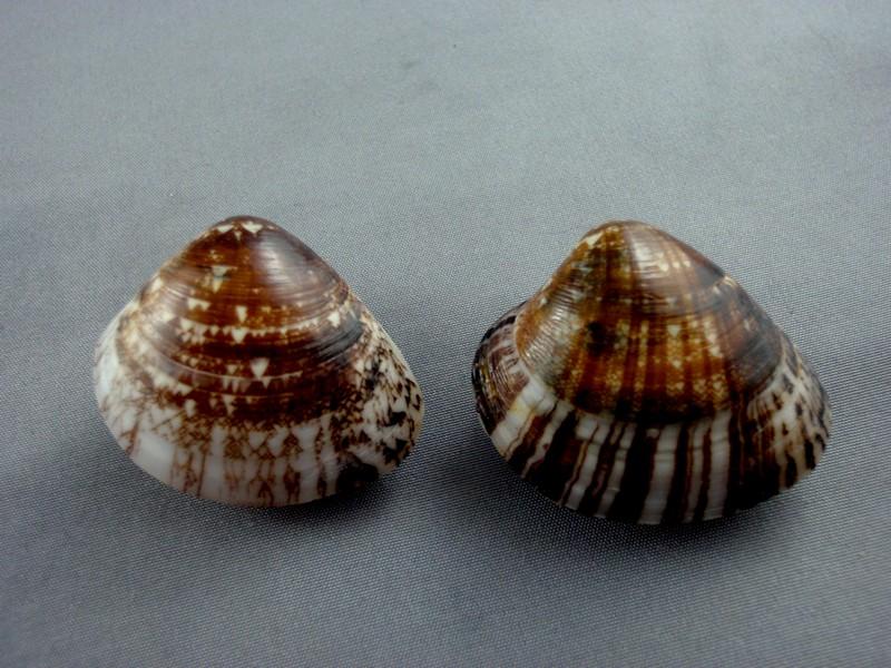 Lioconcha fastigiata - (G. B. Sowerby II, 1851)  Bivalv24