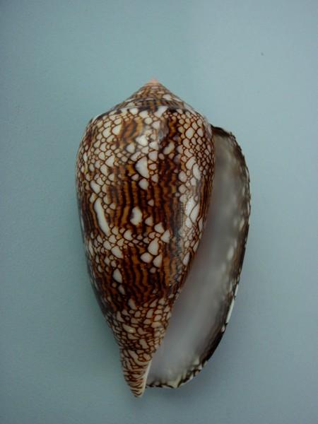 Conus (Cylinder) textile   Linnaeus, 1758 - Page 6 Cones_19