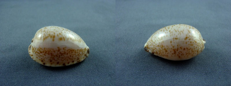Notocypraea declivis dennyorum - Lorenz & Morrison, 2013 Decliv11