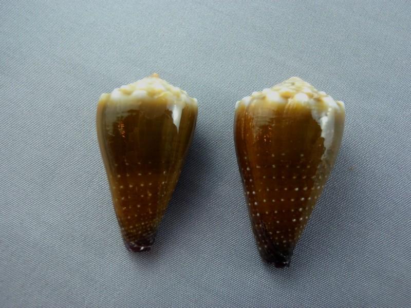 Sanguinolentus - Conus (Lividoconus) sanguinolentus  Quoy & Gaimard, 1834 - Page 2 Nautil10