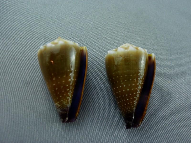 Sanguinolentus - Conus (Lividoconus) sanguinolentus  Quoy & Gaimard, 1834 - Page 2 Nautil11