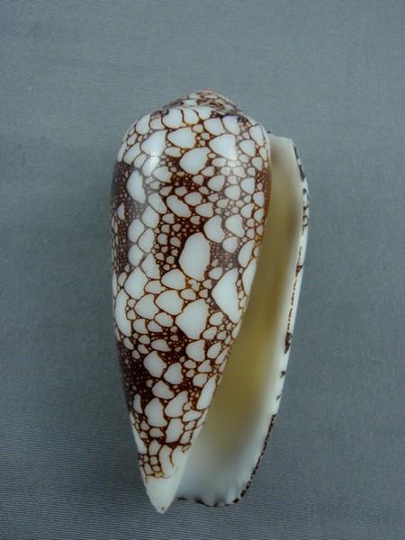 Conus (Darioconus) omaria      Hwass in Bruguière, 1792 - Page 3 Omaria17