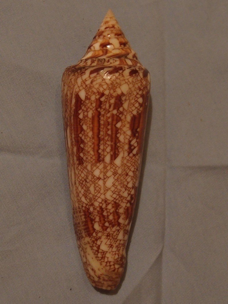 Conus (Cylinder) bengalensis   Okutani, 1968 - Page 2 P5192818