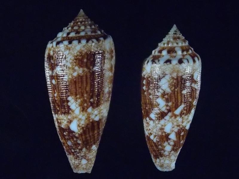 Conus (Cylinder) tagaroae   (Limpalaër & Monnier, 2013) P5192820