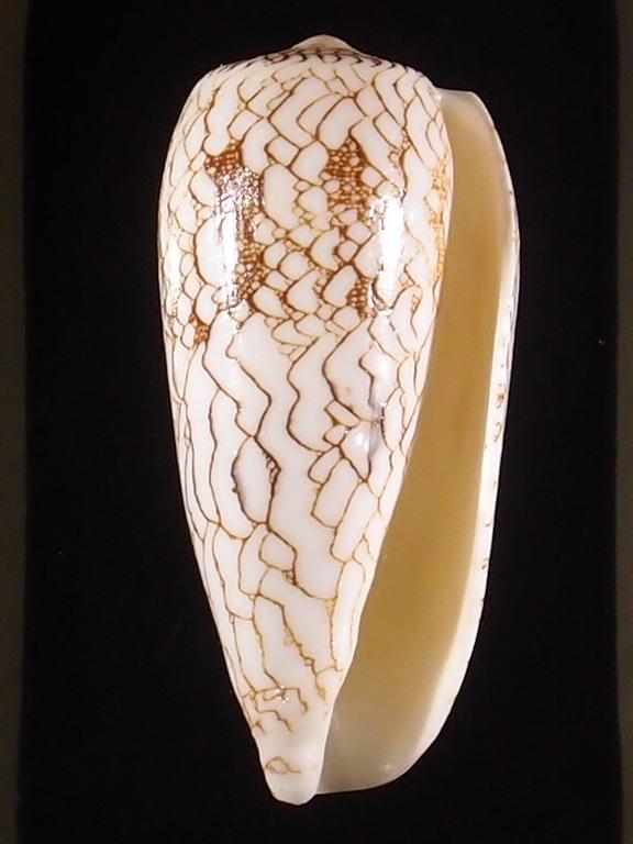 Conus (Darioconus) omaria      Hwass in Bruguière, 1792 - Page 3 P5252917