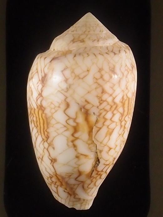 Conus (Cylinder) archiepiscopus verriculum   Reeve, 1843 - Page 3 P5252921