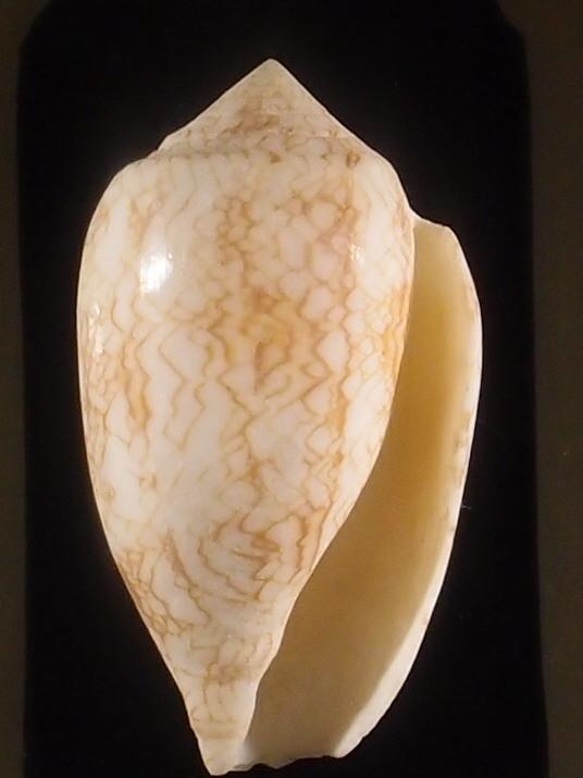 Conus (Cylinder) archiepiscopus verriculum   Reeve, 1843 - Page 3 P5252922