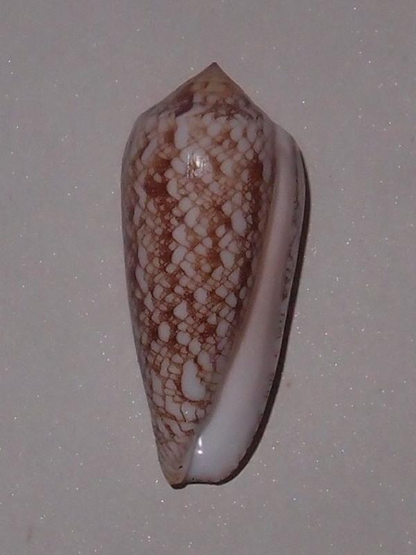 Conus (Darioconus) omaria      Hwass in Bruguière, 1792 - Page 3 P5302913