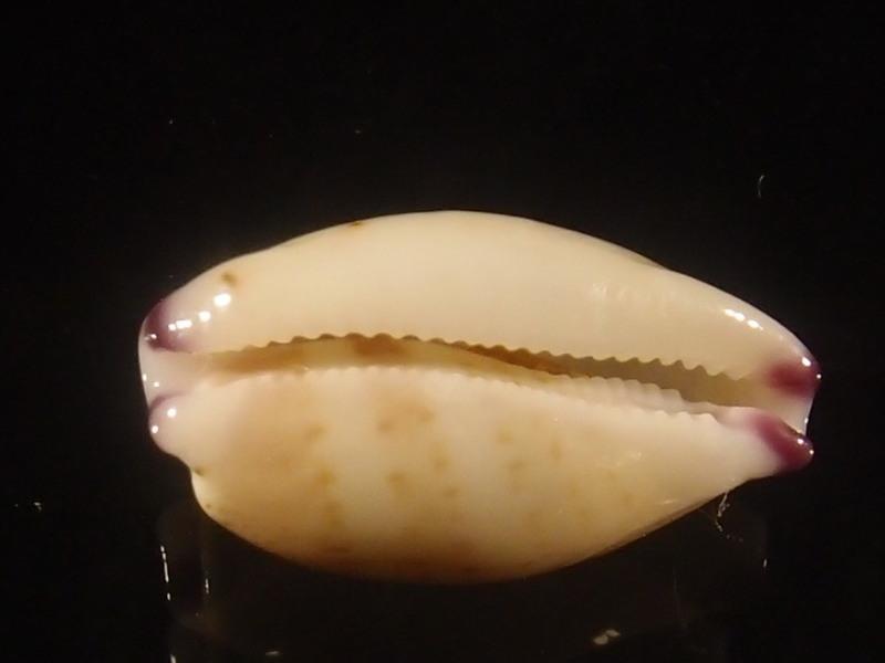 Purpuradusta microdon chrysalis - (Kiener, 1843) P6013016