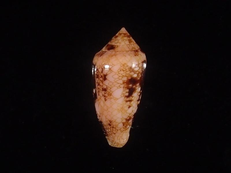 Conus (Cylinder) legatus   Lamarck, 1810 - Page 2 P6083110