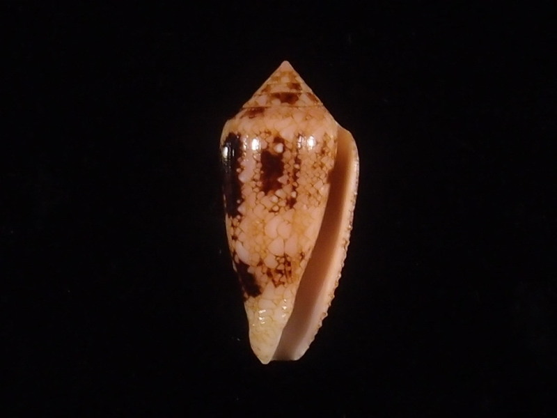 Conus (Cylinder) legatus   Lamarck, 1810 - Page 2 P6083111