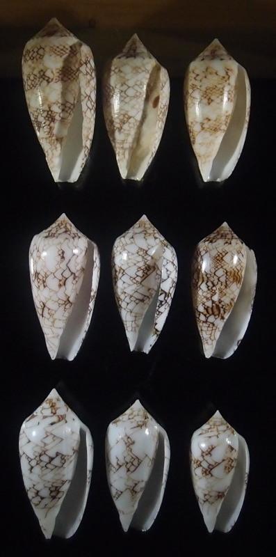 Conus (Cylinder) archiepiscopus loman   Dautzenberg, 1937 P6113217