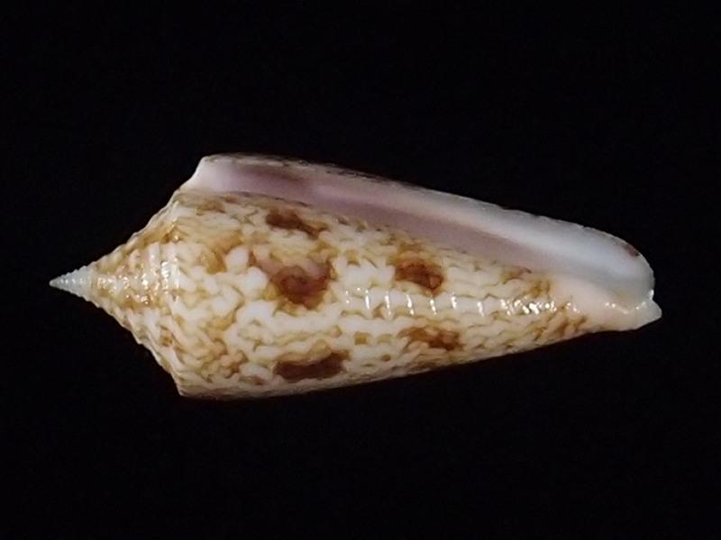 Conus (Phasmoconus) neptunus   Reeve, 1843 P6163325