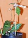 Hoya callîstophylla 00410