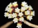 Hoya callîstophylla 01510