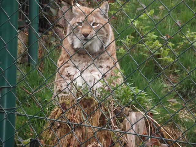 Wildtier-Livecams - Seite 28 Luchs10
