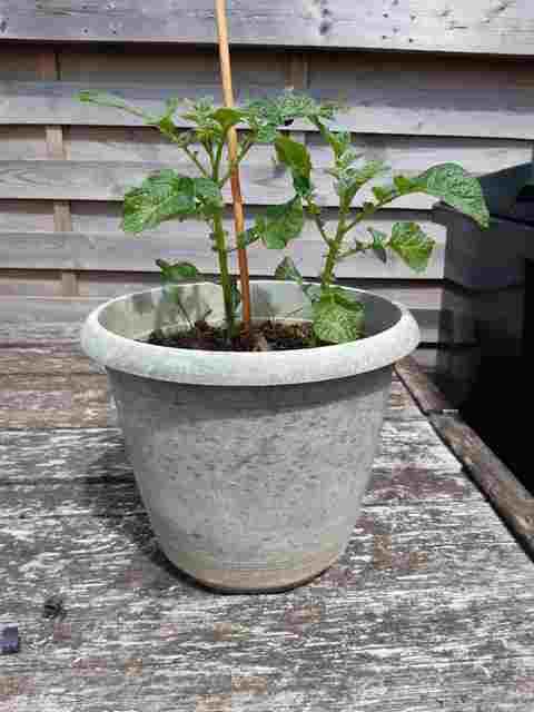 Greffer la Tomate sur une Pomme de Terre 20200712