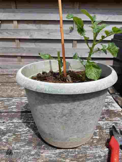 Greffer la Tomate sur une Pomme de Terre 20200714