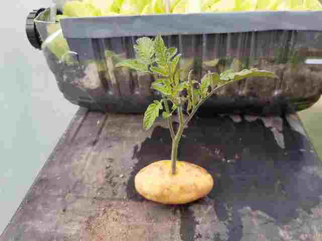 Greffer la Tomate sur une Pomme de Terre - Page 2 20200717