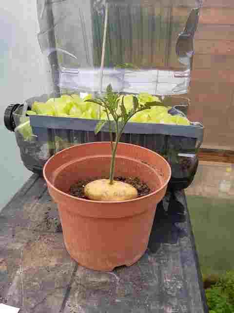 Greffer la Tomate sur une Pomme de Terre - Page 2 20200718