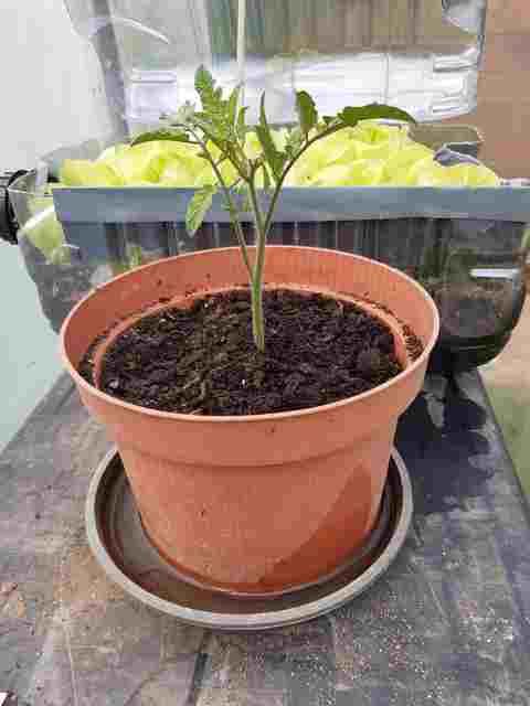 Greffer la Tomate sur une Pomme de Terre - Page 2 20200719