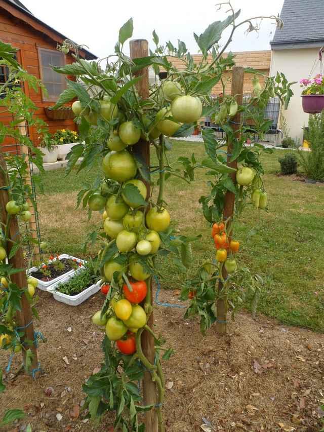 Tomates 2018 - Page 9 Sam_4531
