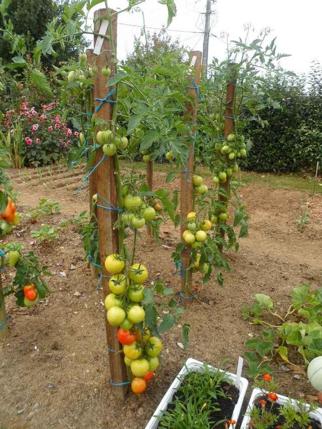 Tomates 2018 - Page 9 Sam_4532