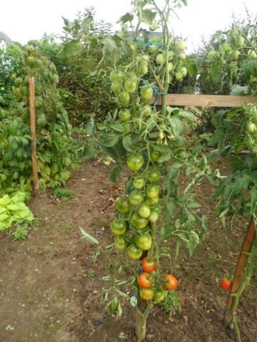 Tomates 2018 - Page 15 Sam_4543