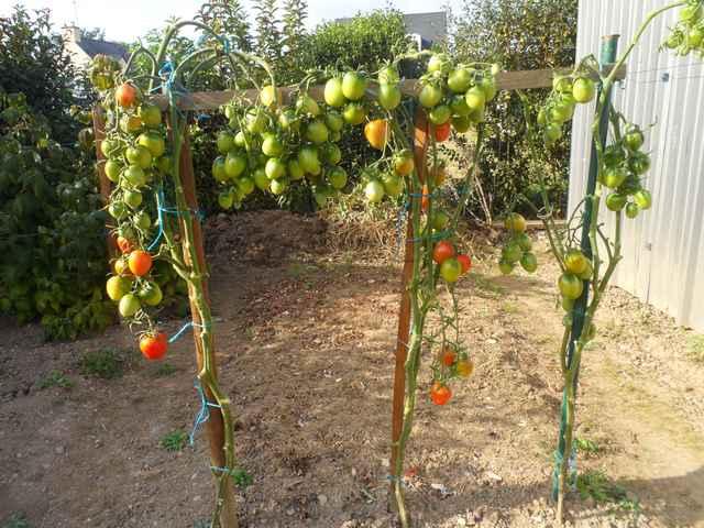 Tomates 2018 - Page 16 Sam_4544
