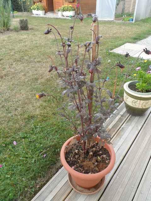 semis de dahlias - Page 5 Sam_4546