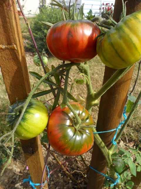 Tomates 2018 - Page 17 Sam_4551
