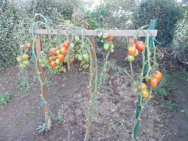 Tomates 2018 - Page 18 Sam_4556