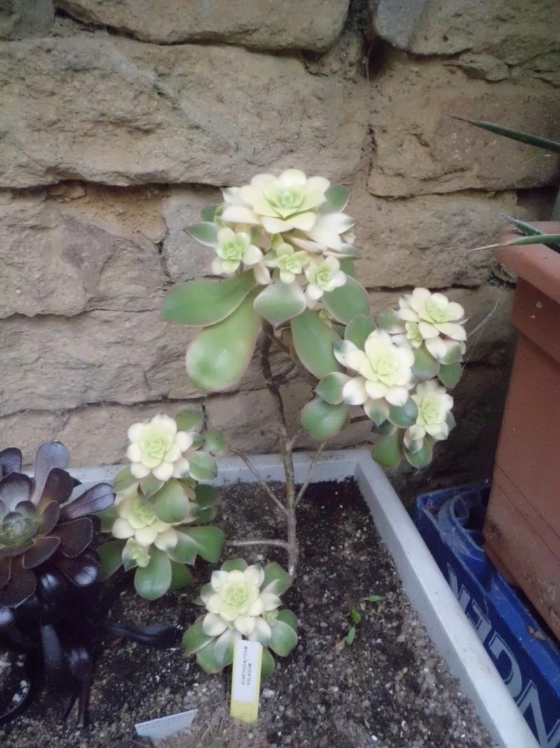 quelque succulentes Cimg0226