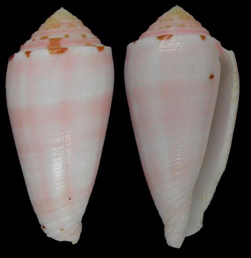 Conus (Pionoconus) boutetorum   Richard & Rabiller, 2013 Boutet10