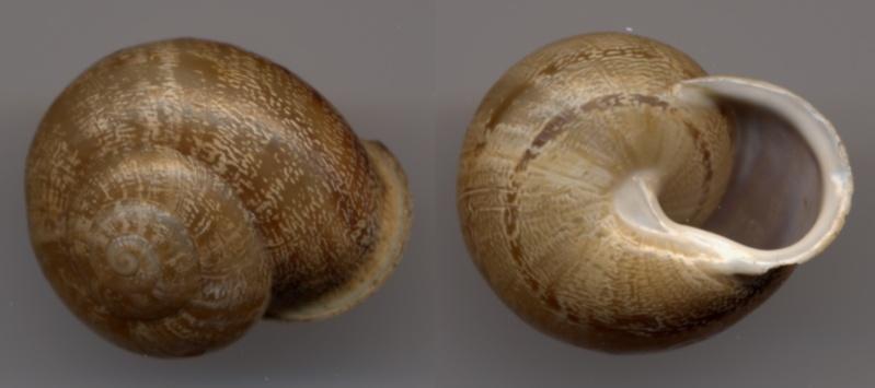 Eobania vermiculata (Müller, 1774) Cagoui10