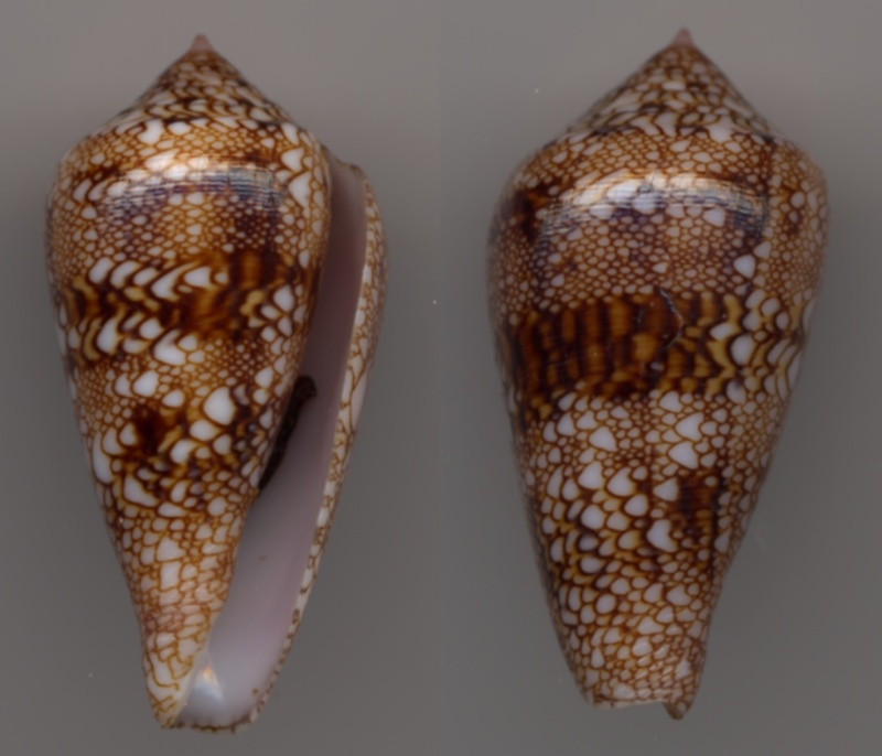 Conus (Cylinder) dalli   Stearns, 1873 Cone_t10