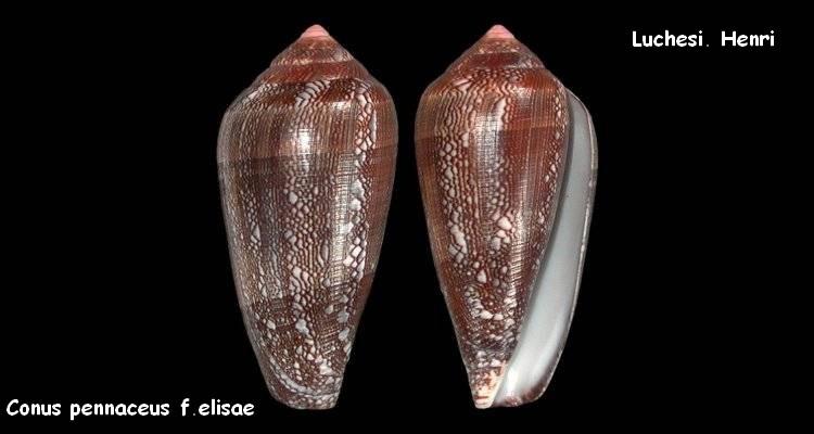 Conus (Darioconus) pennaceus elisae    Kiener, 1846 Conus_13
