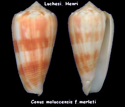 Conus (Phasmoconus) merleti  (Mayissian, 1974) voir Conus (Phasmoconus) moluccensis - Page 2 Conus_28