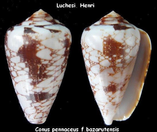 Conus (Darioconus) pennaceus bazarutensis   Fernandes & Monteiro, 1988 Conus_29