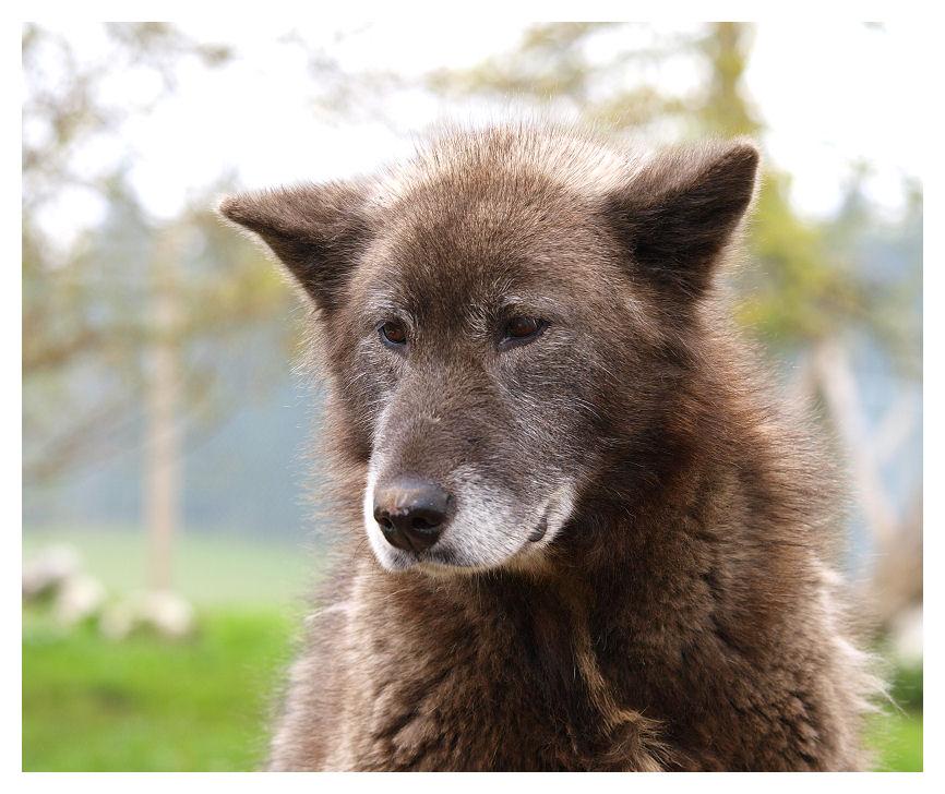 Alaskan malamute Alaska10
