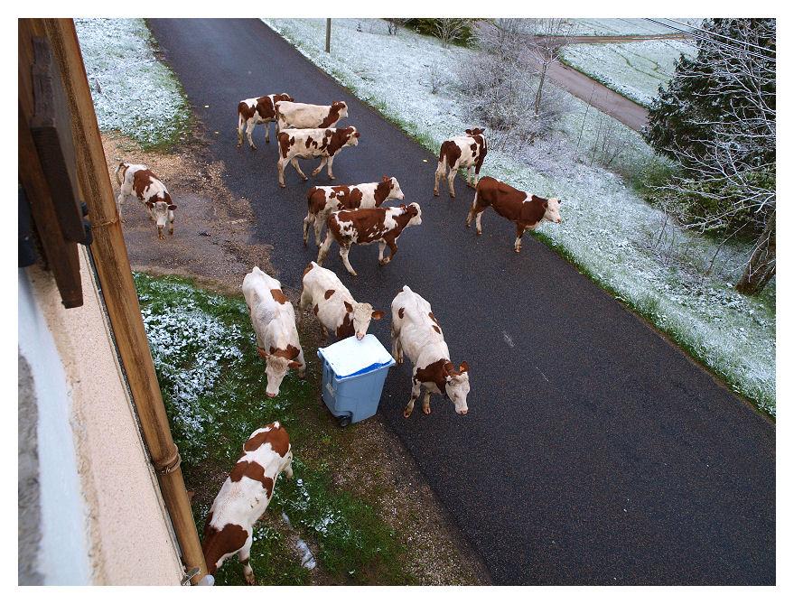 Egarées Cow010