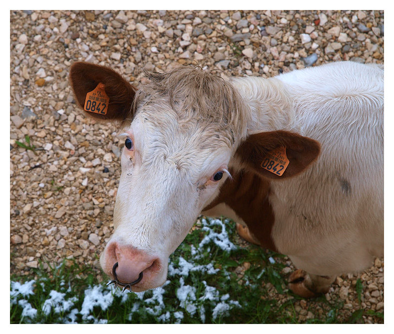 Egarées Cow0110
