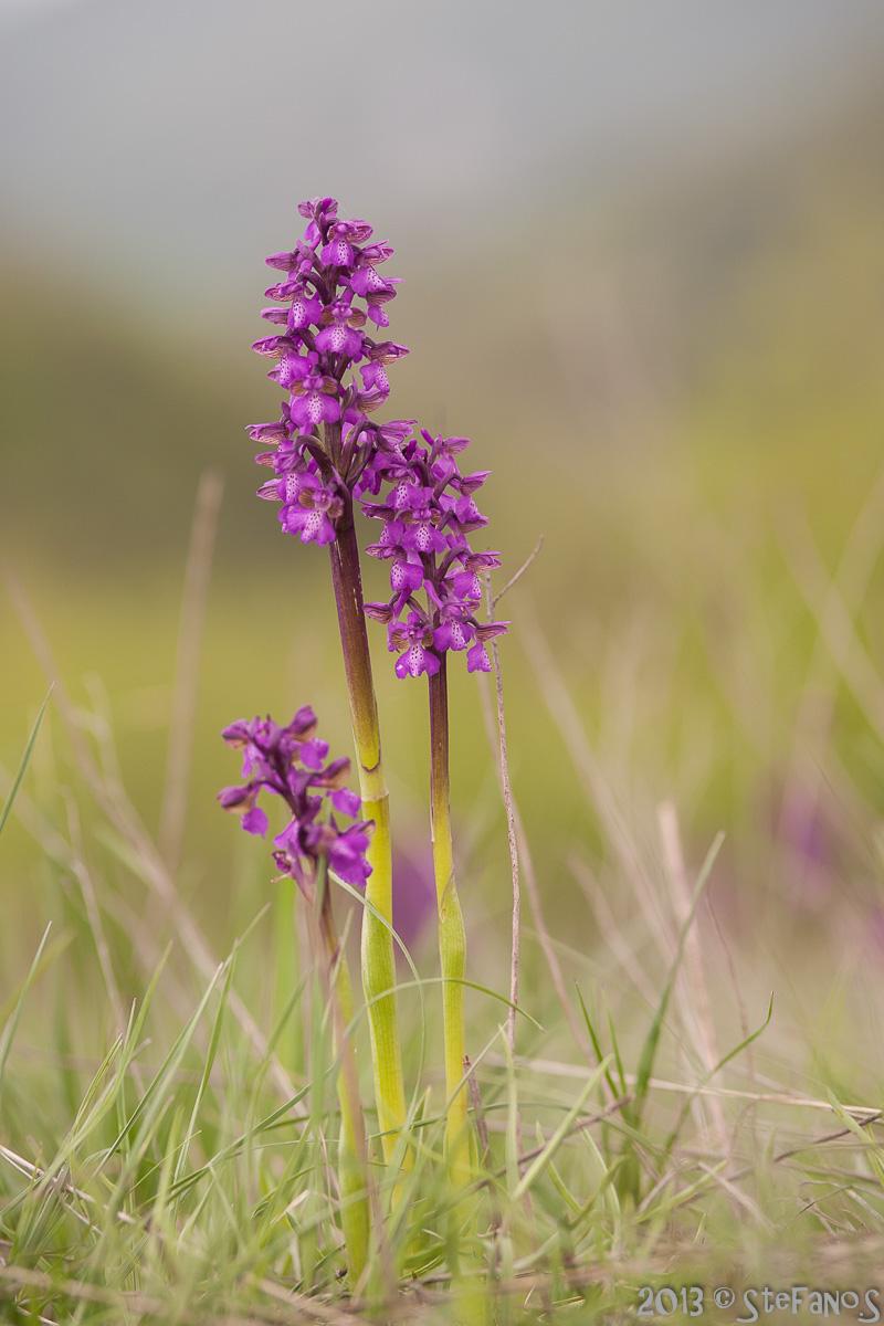 Orchidee varie Img_9812