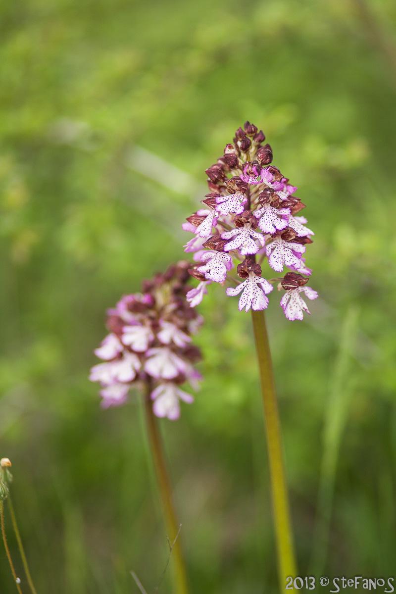 Orchidee varie Img_9813